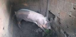 Vendo porco barão