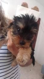 Filhotes yorkshire terrier