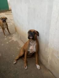 Troca-se 2 cadelas boxers por filhotes de pitbull,hotwallen ou pastor alemao