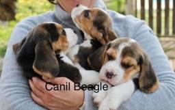 Filhotes Beagle 13 Polegadas com Pedigree e Garantia de Saúde