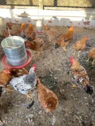 Vendo galinhas de caipira