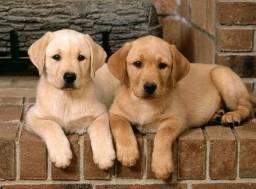 Filhotes machos e fêmeas de Labrador à pronta entrega
