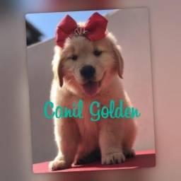 Belos Cães!!/! Golden Retrivier Filhote com Pedigree e Garantia de Saúde
