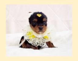 Filhote de yorkshire mini fêmea disponível para entrega - Fotos reais