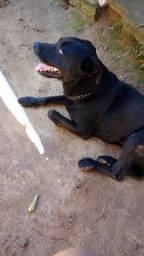 Labrador para doação super docil..
