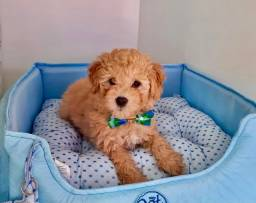 Filhotes de Poodle é no Da Madre Pet Shop