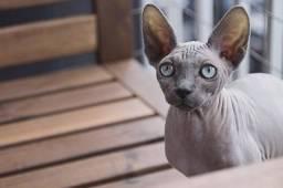 doacão de gato sphynx