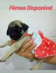 Filhotes fêmea de Pug