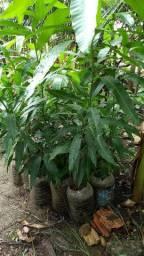 MUDAS DE PLANTAS FRUTÍFERAS<br><br>