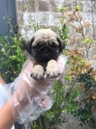 Filhotinhos de Pug, com 50 dias de vida $$