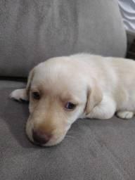 Labrador temos nas cores amarelo/chocolate/preto verifique disponibilidade!