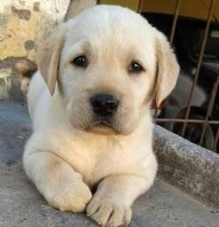 Lindíssimos filhotes de Labrador