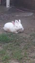 Vendo casal de coelho