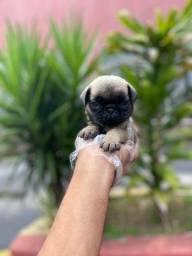 Filhotinhos de Pug, c/ garantia total de saúde e a pronta entrega! $$
