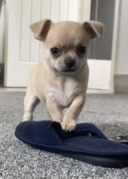 Chihuahua filhotinhos machos e fêmeas disponíveis com garantias em contrato