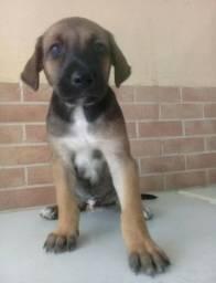 Labrador x dog brasileiro 100