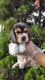 Beagle ligue 11 9 4476 4862