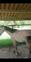 Cavalo e égua de 5 anos pura marcha picada super manso.