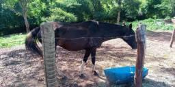 Egua preta pampa domada registrada