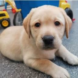 Labrador-lindos e saudáveis