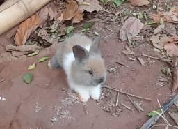 Filhotes de mini coelhos Lions head
