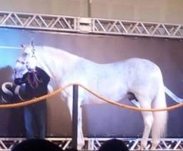 Cavalo de vaquejada puxando de direita