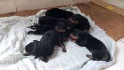 Filhotes Rottweiler para reserva