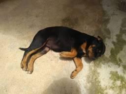 3 meses ...Rottweiler com Pitbull