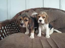 Filhotes de beagle, com pedigree. Entregamos!!