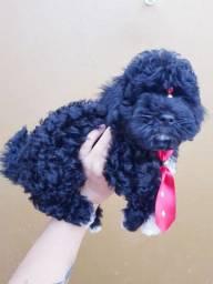 Filhotinho de poodle toy macho
