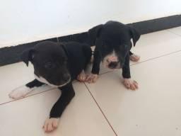 Doação de cachorrinhos da minha cachorra Pitbull mas o pai não sabemos.