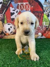 Filhotes de Labradores Já Disponíveis