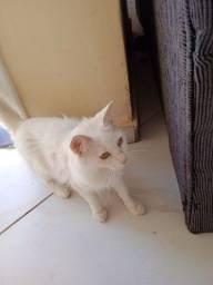 Doação 2 gato, uma branca e uma preta e branca raça Bobtail japonês