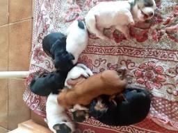 Vendo filhotes de salsicha com poodle