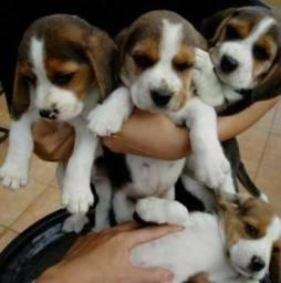 Beagle Fêmea e Macho 13 Polegadas Filhotes Recibo Garantia Pedigree