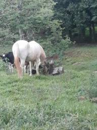Cavalo tordilho