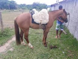 Cavalo criolo bagual muito manso