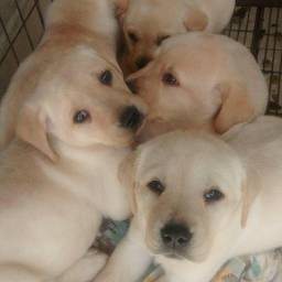 Lindos filhotes, com pedigree, vermifugado e vacinado, com assist vet gratuita