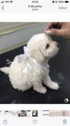 Poodle número 1 250$