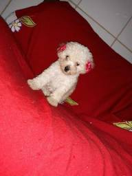 Poodle toyzinhos pequeninos lindos machinho e feminha