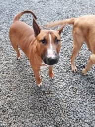 Troco Bull terrier com pedigree