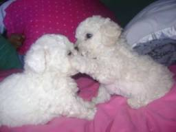 Poodle Toyzinho Só Macho