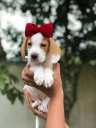 Belíssimas femêas de beagle 13 polegadas com toda documentação - dia das crianças