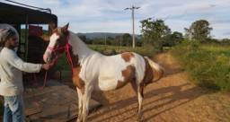 Égua Paint Horse CHEIA de Cavalo Quarto de Milha