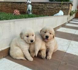 Filhotes de Golden retriever belissimos com garantia de saúde
