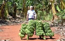 Vendo mudas de bananas de excelente qualidade!