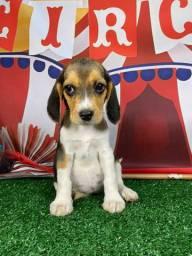 Beagle Filhotes Perfeitos