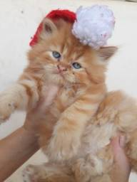 Gatinhos da raça persa