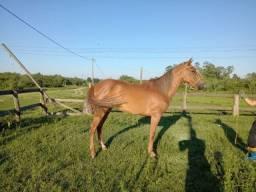 Égua quarto de milha (potranca)