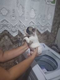 Pequenos filhotes bulldog francês machos